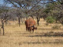 White Rhino Mother And Calf. A White Rhinoceros mother and calf in Southern African savanna royalty free stock images