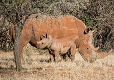 White Rhino Mother And Calf. A White Rhinoceros mother and calf in Southern African savanna stock photos