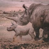 White Rhino mother with her baby in a private game reserve royalty free stock photo