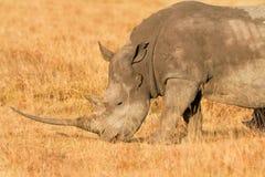 White Rhino in Nakuru Park Royalty Free Stock Photos
