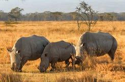 White Rhino in Nakuru Park Royalty Free Stock Images