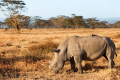 White Rhino in Nakuru Park Royalty Free Stock Photography