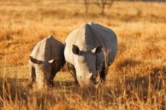 White Rhino in Nakuru Park Stock Photos