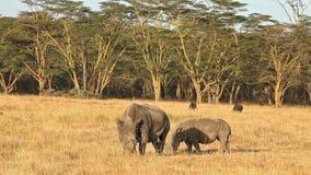 White Rhino in Nakuru Park. White rhinos in Nakuru Park in Kenya during the dry season stock video