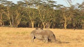 White Rhino in Nakuru Park. White rhinos in Nakuru Park in Kenya during the dry season stock footage