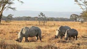 White Rhino in Nakuru Park. White rhinos in Nakuru Park in Kenya during the dry seasonn stock video footage