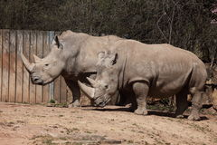 White Rhino Royalty Free Stock Image