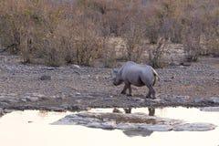 White rhino in Namibia stock photo