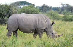 White rhino. In nature reserve in Botswana Royalty Free Stock Images
