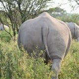 White rhino. In nature reserve in Botswana Stock Image