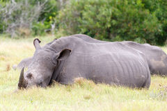 White Rhino Needs Sleep. Kragga Kamma Game Park in Port Elizabeth lush coastal forest and grassland is home to vast herds of African game royalty free stock images