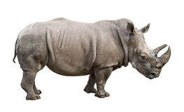 White Rhino Old Male Cutout Stock Photo