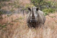 White Rhino South Africa stock photos