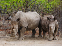 2 White Rhino in Ongava Royalty Free Stock Image