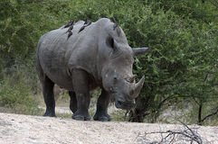 White rhino with ox peckers Royalty Free Stock Image