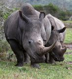 White Rhino Pair Stock Image