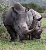White Rhino Pair Stock Image