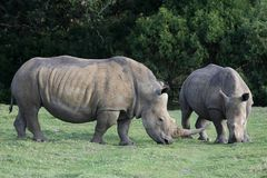 White Rhino Pair Royalty Free Stock Image