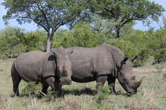 White Rhino pair Stock Images