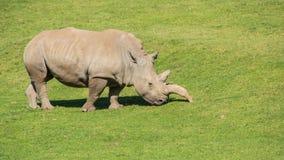 White Rhino Panorama. A white rhino grazes in a field stock image