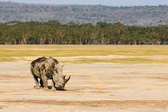 White rhino photographed in Savannah Stock Photos