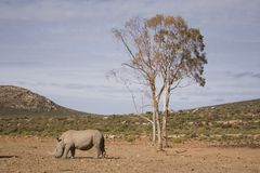 White Rhino on the plain under tree. Stock Photography