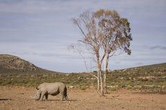White Rhino on the plain under tree. Single white rhino standing below the only tree on the open plains, South Africa stock photography