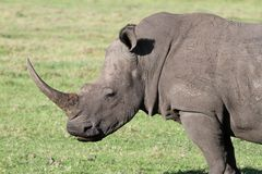 White Rhino Portrait. Huge white rhinocerous with big horn and wide flat mouth Royalty Free Stock Image