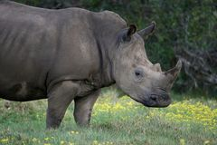 White Rhino Portrait. Huge white rhinocerous with a long horn and grass in it's mouth Royalty Free Stock Photos