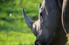 White rhino. Portrait of a white rhino Royalty Free Stock Images