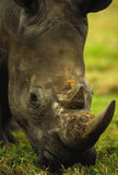 White Rhino Portrait Stock Photo