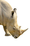 White Rhino portrait in front of Royalty Free Stock Photo