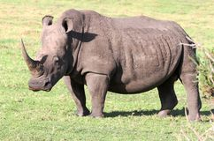 White Rhino Portrait Royalty Free Stock Images