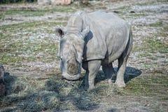 White rhino portrait Royalty Free Stock Images