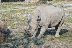White rhino portrait Royalty Free Stock Photography