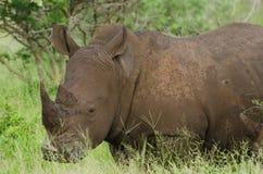 White Rhino Portrait. Single White Rhino Ceratotherium simum in grasslands, Kruger National Park, South Africa stock photos