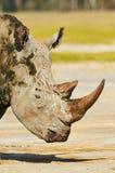 White rhino portrait vertically. Portrait of white rhino at Nakuru National Park in Kenya Royalty Free Stock Photos