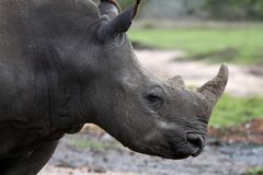 White Rhino Profile. Profile of a young white rhino with large horn Royalty Free Stock Photo