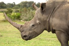 White Rhino Profile Stock Images