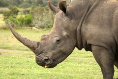 White Rhino Profile Stock Photo