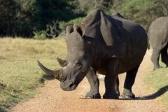White Rhino profile. Enormous white rhino standing in the middle of a gravel road Stock Photography