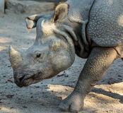 White rhino profile. Closeup of the profile of a white rhino Royalty Free Stock Photography