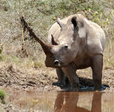 White Rhino with record horn Royalty Free Stock Images