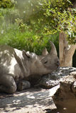 White rhino is relaxing in shade Royalty Free Stock Photo