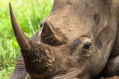 White Rhino Head Close Stock Photography