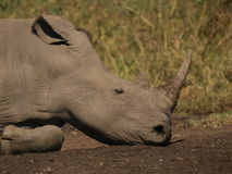 White Rhino. Resting head on its jaw and sleeping Royalty Free Stock Image