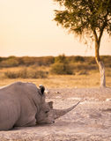 White Rhino Resting. White Rhino or Rhinoceros while on safari in Botswana, Africa Royalty Free Stock Photo