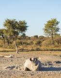 White Rhino Resting Stock Image
