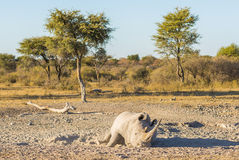 White Rhino Resting. White Rhino or Rhinoceros while on safari in Botswana, Africa Stock Photo