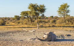 White Rhino Resting. White Rhino or Rhinoceros while on safari in Botswana, Africa Stock Photography